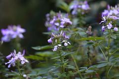 Floraison (carlo612001) Tags: flowers flower blossom fiori oasidisantalessio