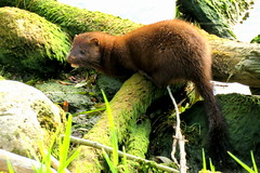 Mink 2 (Lois McNaught) Tags: family summer ontario canada nature animal outdoor wildlife hamilton mink