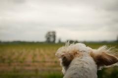 (Ian Threlkeld) Tags: dogs nikon bc britishcolumbia canine explore irt nikonphotos adogslife pittmeadows dogsatplay nikonphotography dogsofflickr explorebc mynikonlife