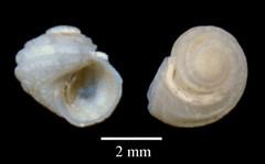 MOL_ 1726_Parviturbo_sp_2212_01_446x276.gif (MaKuriwa) Tags: mollusca gastropoda archaeogastropoda skeneidae parviturbo