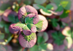 Trifolium '4 Luck Red Glow' (Through Serena's Lens) Tags: trifolium 4 luck red glow clovershaped leaves nature sunlight