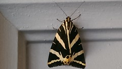 L'caille chine - papillon - Euplagia quadripunctaria (lhirlimann) Tags: byemail papillon insecte grisolles tarnetgaronne cameraphone noir jaune yellow black butterfly taxonomy:kingdom=animalia taxonomy:phylum=arthropoda taxonomy:class=insecta taxonomy:order=lepidopetra taxonomy:family=actiidae taxonomy:genus=euplagia taxonomy:species=equadripunctaria taxonomy:binomial=euplagiaquadripunctaria