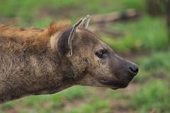 Hyena (Arranion) Tags: canon eos 40d hyena kruger national park krugerpark nature wildlife animal game predator jaw strongest byte