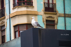 Seagull (Moira_Fee) Tags: seagull gaviota pajaro bird gijon xixon asturias asturies espaa spain building blue cyan nature ciudad city paisaje landscape moira fee animal close up