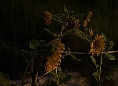 Girasoles (Esperanza & Joseba) Tags: girasoles flores acequia laalbufera sj
