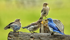 Mountain Bluebird Family Portrait (Jeff Clow) Tags: family wild usa nature birds june outside outdoors feeding wildlife chicks wyoming mothernature bluebirds 2016 mormonrow jacksonholewyoming mountainbluebirds