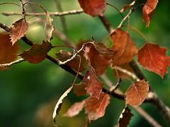 Couleurs d'automne... (chang_j1) Tags: branches extrieur couleur bois feuillage