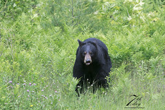 What? (Seventh day photography.ca) Tags: blackbear bear sow wildanimal wildlife predator female spring ontario canada