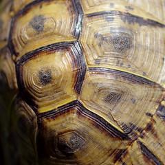 Texturle (Ben Bill) Tags: macro texture turtle tortue carapace macromondays