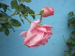 rosa Rosen vor blauer Mauer (evioletta) Tags: rose blume pflanze rosa hellblau mauer juli