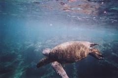 (matt.bower) Tags: film seaturtle snorkel northshore