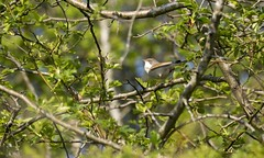 Whitethroat (Mark Illand) Tags: whitethroat birds rspb barons haugh scotland sony alpha a77 sonyalphadslr 70300gssm colour nature outdoor photography trees summer migrant
