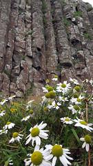 Daisies in front of the striking hexagonal basalt rock formations of Giant's Causeway in Northern Ireland, UK (albatz) Tags: giantscauseway ireland uk rockformations basalt