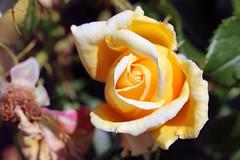 Maig_1267 (Joanbrebo) Tags: canoneos70d efs18135mmf3556is eosd autofocus 16concursinternacionalderosesnovesdebarcelona barcelona blumen blossom garden jard jardn parc park parque parccervantes flores flors flowers fiori fleur