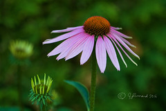 Purple Cone Flowers (Jeannot7) Tags: purpleconeflower purple echinacea flowers cobourg ontario backyard