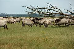 Konik horses (Beyond the grave) Tags: oostvaardersplassen flevoland netherlands konikhorses polder belowsealevel newnature horses