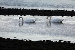 Lined up (tommyajohansson) Tags: bird birds geotagged scotland swan unitedkingdom swans oiseau moray pajero vogel oiseaux weekendbreak fglar fgel svan speybay citybreak pajeros svanar vogeln tommyajohansson