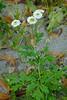 *Tanacetum parthenium, FEVERFEW (openspacer) Tags: asteraceae feverfew nonnative tanacetum jrbp jasperridgebiologicalpreserve