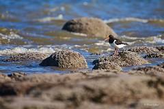 Patience (Ali Ly) Tags: sea summer bird nature water nikon rocks day outdoor oystercatcher hunstanton wader d600 haematopusostralegus