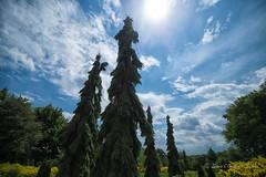 Les Gants (Sous l'Oeil de Sylvie) Tags: arbres conifres gants grands immenses hauts sousloeildesylvie pentax ks2 1020mmsigma ciel sky jardins nature landsape paysage july juillet 2016