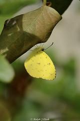 Malagasy Grass Yellow (Ralph J Clark) Tags: malsgasygrassyellow butterfly mauritius sigma105mmf28exdgmacroos