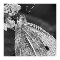 small white in mono (rich lewis) Tags: pierisrapae mono monochrome blackandwhite nature macro macrophotography richlewis