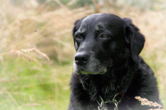 Eyes on the fly (Pog's pix) Tags: poppy dog watching behaviour cute black white grass sitting head face eyes portrait outside outdoors outdoor dunlop scotland ayrshire eastayrshire dunlopmillenniumwoodlandnaturepark looking animal pet closeup whiskers old grasses