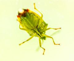 Peeping Tom (Birdiebirdbrain) Tags: heteroptera bug nature naturephotography naturfoto macro nikon nikond3300 tokina tokina100mmf28 truebug