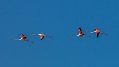 Vendicari - Fenicotteri (grzegorzmielczarek) Tags: italia italien sicilia sicily sizilien vendicari riservanaturaleorientataoasifaunisticadivendicari fenicotteri flamingos