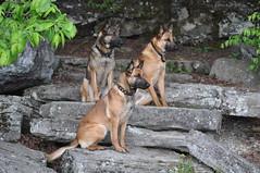 DSC_0045 (IN CANIS SPERAMUS) Tags: belgianshepherd malinois dog dogtraining puppy servicedog dogtrainer incanissperamus