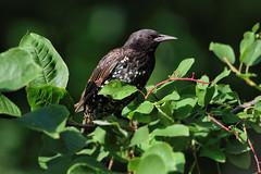 tourneau sansonnet  --- Common starling ---  Estornino pinto (Jacques Sauv) Tags: tourneau sansonnet juvnile common starling estornino pinto oiseau bird ave