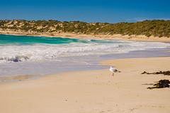 Seagull (my_h0a) Tags: seagull animal bird beach australia waves southaustralia innesnationalpark dolphinbeach nature nation traveler roadtrip livingabroad weekend trip weekendtrip freetime