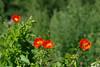 Moonid (Jaan Keinaste) Tags: pentax k3 pentaxk3 eesti estonia loodus nature moon poppy punane red lill flower