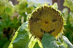 Sunny Days :-) (fxdx, mostly off; business trip :-)) Tags: sunny days sun sunflower flower garden face nex6