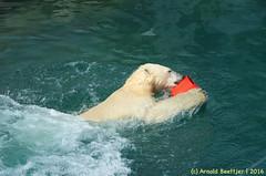 ijsberen_04 (Arnold Beettjer) Tags: wildlands emmen dierenpark dierentuin dierenparkemmen ijsbeer ijsberen polarbear