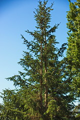 Canon EOS 5D Mark III - IMGL5617 (rogerbtree) Tags: tree pruning trees arborist view service views chainsaws shoreline wa innis arden barnett care arboriculture