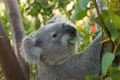 Dinner Time! (ToddLahman) Tags: koala sandiegozoo sandiego dinner closeup nighttimezoo canon7dmkii canon canon100400