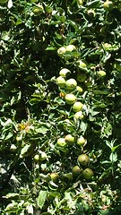 Bumper crop, green apples ripening in the late summer sun, apple tree, Broadview, Seattle, Washington, USA (Wonderlane) Tags: 20160815101153 greenapplesripeninginthelatesummersun appletree broadview seattle washington usa green apples ripening late summer sun bumpercrop