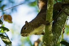 Sunday morning and photography #squirrel#esquilo#serelepe (fabiano.waldow) Tags: esquilo serelepe squirrel
