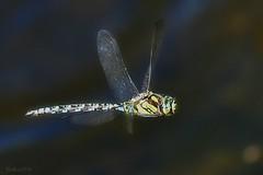 ~~Au dessus de ma mare...~~ (Jolisa) Tags: libellule vol ailes mouvement motion aot2016