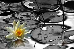 The rain stopped... (Firstlookimages) Tags: art artistic artisticmanipulation bw blackandwhite blackwhite water waterplants lilypads natureportrait