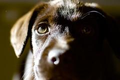DSC_0203 - Version 2 (melvindruce) Tags: d3000 dog cici boken chocolate lab puppy nose eye