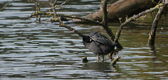 What's under there (yvonnepay615) Tags: panasonic lumix gh4 nature bird coot holkham norfolk eastanglia uk