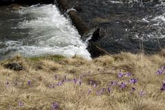 patakpart / creekside (debreczeniemoke) Tags: plant flower creek crocus virg creekside iridaceae patak nvny springcrocus giantcrocus crocusvernus izvoare izvora sfrny patakpart frhlingskrokus crocusheuffelianus frhlingssafran forrsliget canonpowershotsx20is crocusprintanier brndudeprimvar zafferanomaggiore nsziromflk crocusdenaples crocusdeprintemps krptisfrny tavaszisfrny brndudemunte