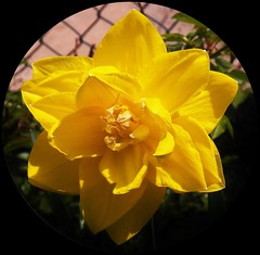 Super Yellow (MissyPenny) Tags: plants flower yellow catchycolors garden spring flora vivid daffodil intensecolor goldenyellow bristolpennsylvania