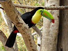 Keel-billed toucan (Linda DV) Tags: bird geotagged lumix spain panasonic tenerife canaryislands islascanarias keelbilledtoucan ramphastossulfuratus 2015 ramphastidae geomapped rainbowbilledtoucan sulfurbreastedtoucan lindadevolder lasguilasjunglepark