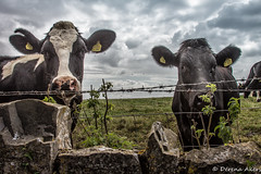 Rural Wales (derena_d.) Tags: summer wales rural canon landscape photography countryside photographer cattle cows lovely 2014 ruralwales 15challengeswinner derenaakers
