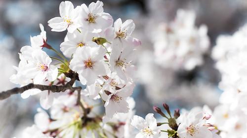 京都・お花見