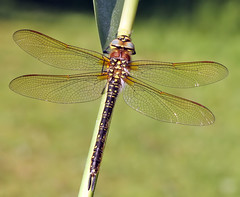 Female Hairy dragonfly (Roger H3) Tags: hairy insect dragonfly hawker odonata