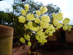Folhas da planta aqui de casa (Deivid H. Guimares) Tags: brazil macro planta sol brasil casa sopaulo jardim vaso fazenda vegetao entardecer claridade vistaalegre tabapu macrodreams pequenaplanta folhassobosol